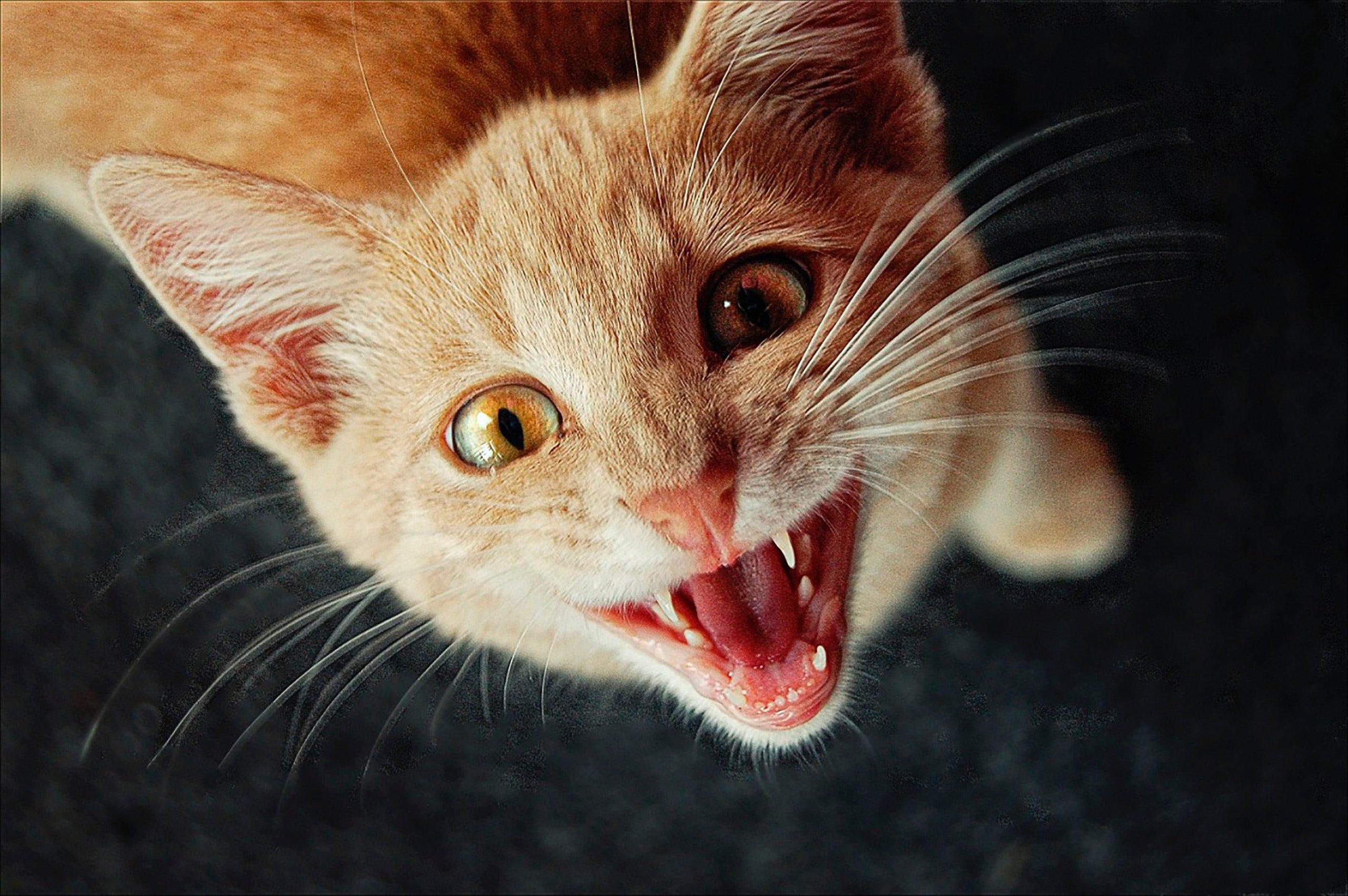 Alle Über Ihre Katzen Mundgesundheit