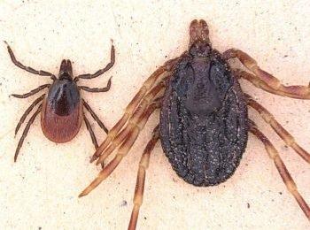 Krankheitserreger: Diese gefährliche Zeckenart wurde jetzt in Norddeutschland entdeckt