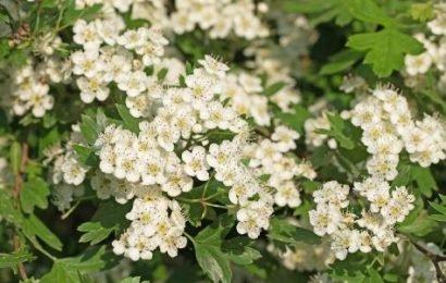 Weißdorn wurde zur Arzneipflanze des Jahres 2019 gewählt