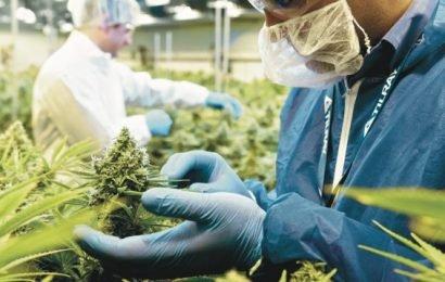 Extrakthersteller Tilray verkauft jetzt auch Cannabisblüten