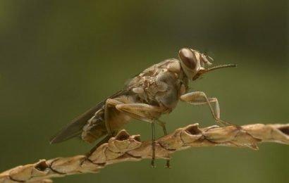 Mit machine-learning zur Ausrottung der tsetse-fliege in Afrika südlich der Sahara