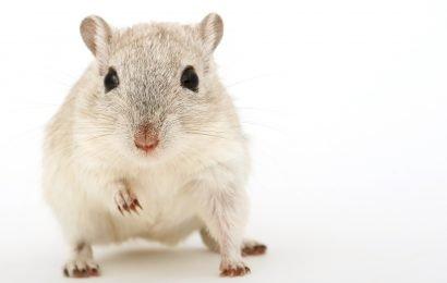 """Forscher vermeiden """"chaotisch"""" hormonelle weibliche Mäuse, und das tut weh Frauen"""