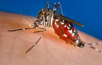Früh dengue-virus-Infektion könnte 'entschärfen' Zika-virus