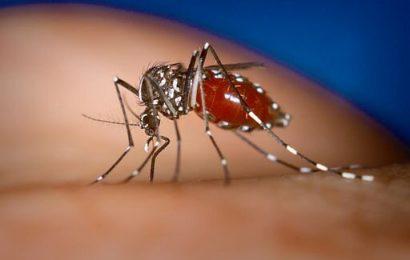 Gene erzählen die Geschichte, wie die asiatische Tigermücke verbreiten