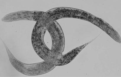 Neues Modell von C. elegans hilft progress-Studie seltene genetische Krankheit