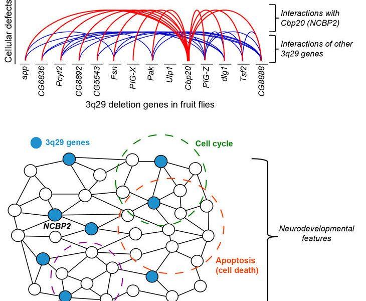 – Key-Modifizierer gefunden in der genetischen deletion Bezug auf neuroentwicklungsstörungen
