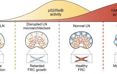 Enthüllung, wie Lymphknoten regulieren Immunantwort