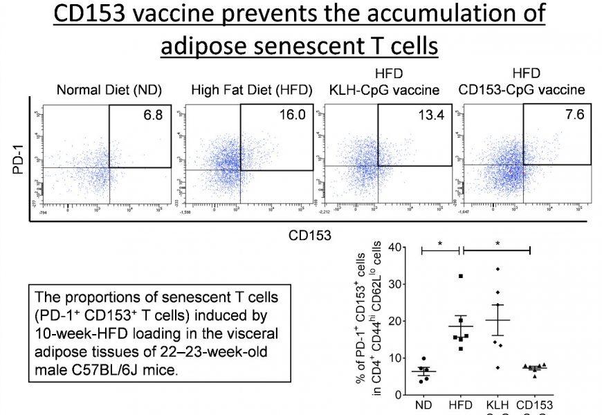 Ein Impfstoff targeting gealterte Zellen verringert metabolische Störungen bei adipösen Mäusen