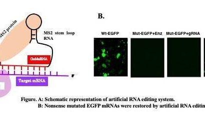 Künstliche RNA-editing mit ADAR für die gen-Therapie