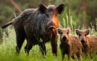 Afrikanische Schweinepest: Keine Gefahr für den Menschen