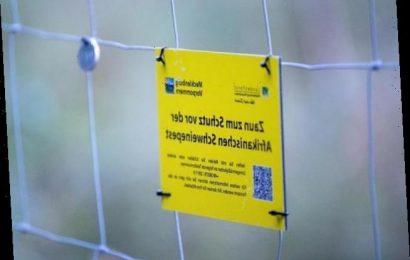 Zweites Bundesland betroffen: Schweinepest jetzt auch in Sachsen